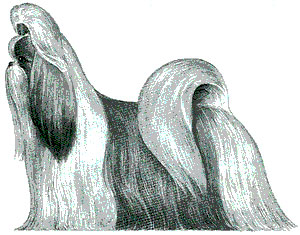 Illustrated Akc Shih Tzu Standard Oriental Beauties Shih Tzu
